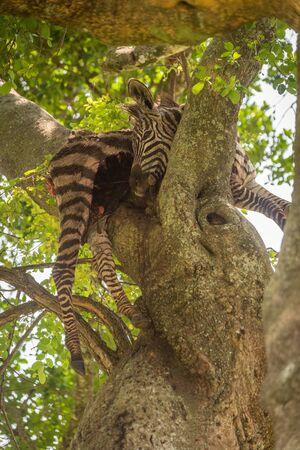 Dead plains zebra carcase lying in tree Reklamní fotografie