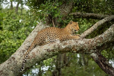 Leopard lies dangling tail from lichen-covered branch