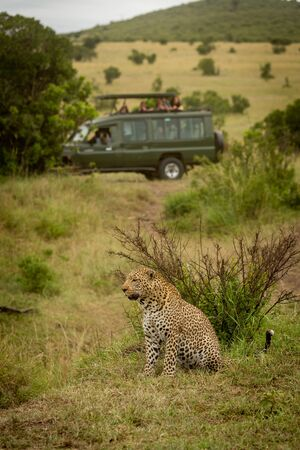 Leopard sits staring left with truck behind