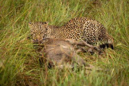 Leopard lies with kill in long grass Stockfoto