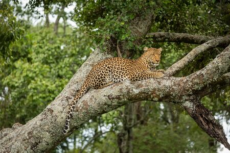 Leopard lies on lichen-covered branch dangling tail