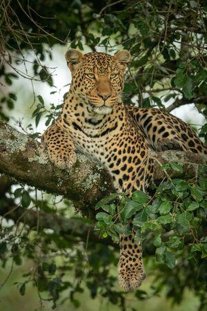 Leopard lies on branch dangling paw down