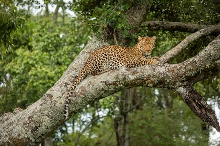 Leopard looks down from branch dangling tail