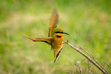 Little bee-eater flaps wings landing on branch Zdjęcie Seryjne
