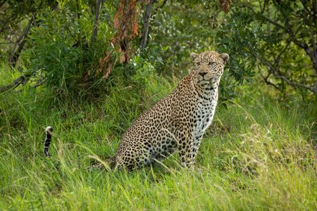 Male leopard sits in grass looking round Stock Photo