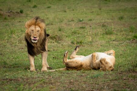 Lion stands by lioness rolling on back