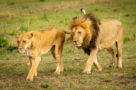 Male And Female Lion Stock Photos And Images - 123RF
