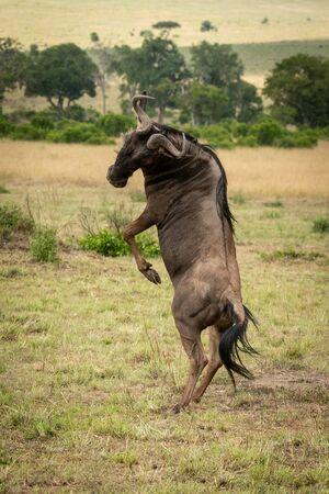 Male blue wildebeest twists on hind legs