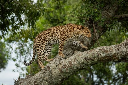 Leopard walking up lichen-covered branch lifting paw