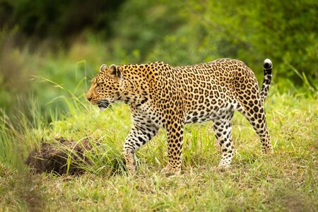 Leopard walks through grass with trees behind