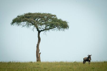 Blue wildebeest stands near tree on horizon