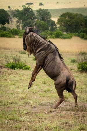 Male blue wildebeest stands on hind legs