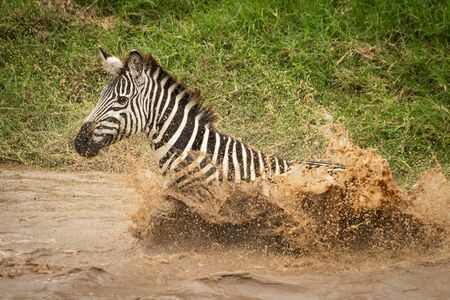 Plains zebra lands splashing in muddy river