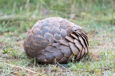 Pangolin lies rolled into ball on grass
