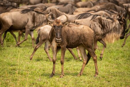 Muddy young blue wildebeest stands watching camera