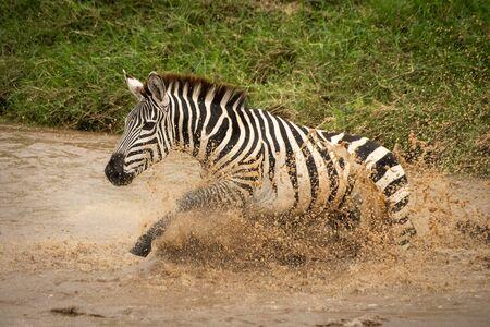 Plains zebra splashes across river near bank