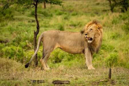 Male lion stands by tree looking back