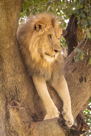 Male lion lies in tree looking right Stock Photo