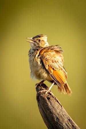 Red-winged lark on dead branch opening beak Archivio Fotografico - 129485977