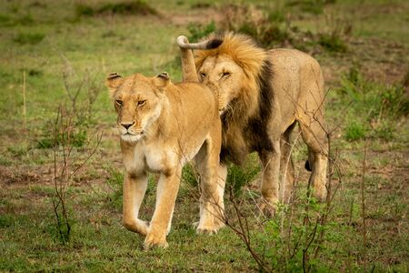 Male lion follows lioness sniffing her rear