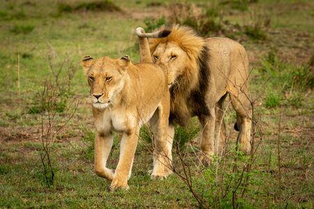 Un lion mâle suit une lionne en reniflant son arrière