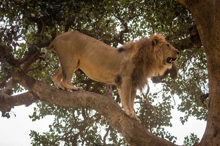 Male lion stands on branch in profile Stock Photo