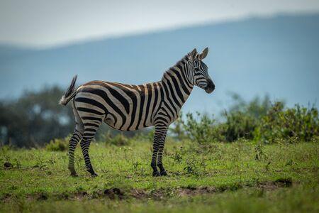 Plains zebra stands on horizon watching camera Stockfoto