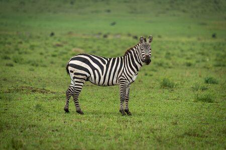 Plains zebra stands in grass watching camera