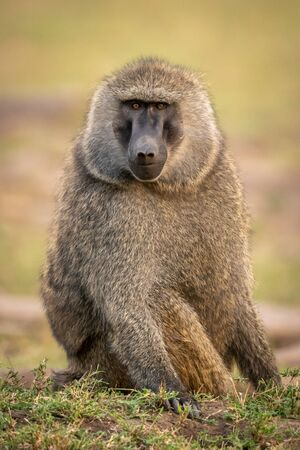 Olive baboon sits on grass watching camera Archivio Fotografico - 129486020