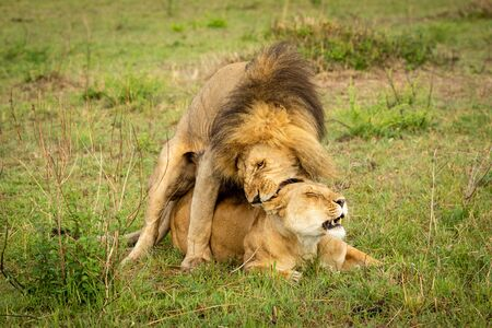 Male lion bites lioness mating on grass