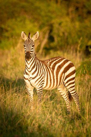 Plains zebra stands eyeing camera at dawn Archivio Fotografico - 129486030