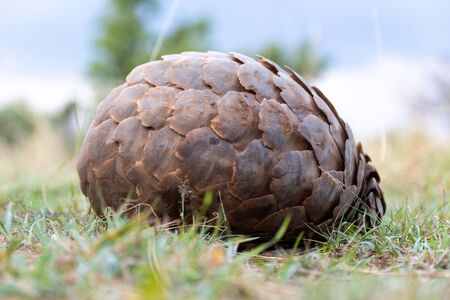 Pangolin lies on grass rolled into ball