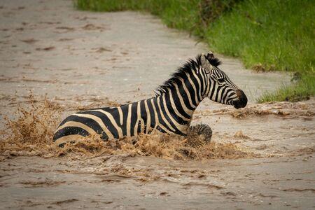 Plains zebra splashes across river towards bank