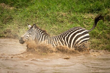 Plains zebra lands with splash in river