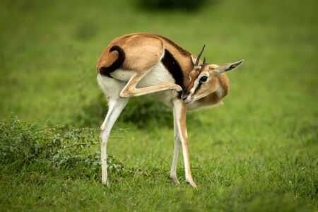Thomson gazelle stands in grass scratching nose