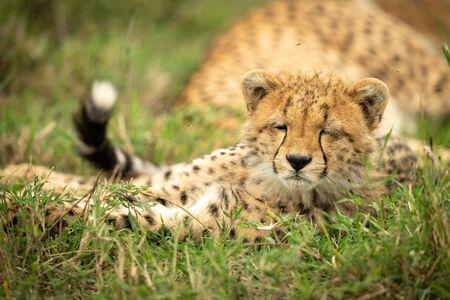 Sleepy cheetah cub lies with eyes closed