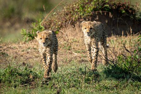 Two cheetah cubs cross grass towards camera