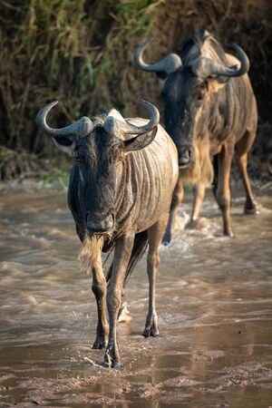 Two blue wildebeest cross river towards camera Stock Photo - 129486107