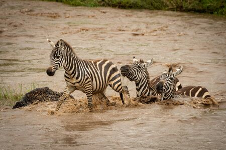 Three plains zebra cross river by rock Stock Photo