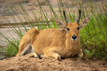 Reedbuck lies in riverbed looking at camera Stock Photo - 129486110