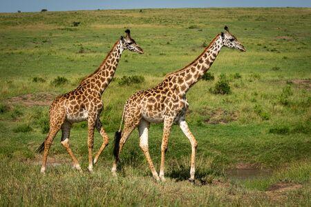 Two Masai giraffe cross savannah in sunshine Stock Photo