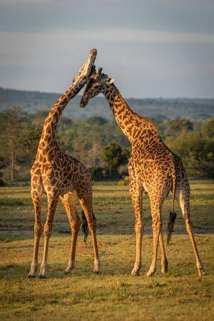 Two Masai giraffe neck in golden hour Stock Photo - 129486115