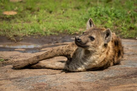 Spotted hyena lies on rock with catchlight Stock Photo - 129486118