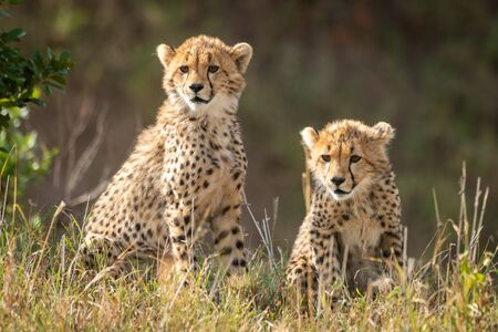 Two cheetah cubs sit staring in grass