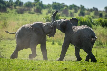 Two young elephants play fighting on grass Stockfoto