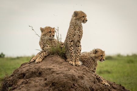 Three cheetah cubs facing right on mound