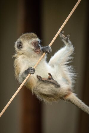 Vervet monkey almost falls from tent rope Stock Photo - 129486127