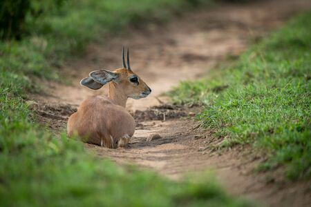 Steenbok lies on dirt track looking back