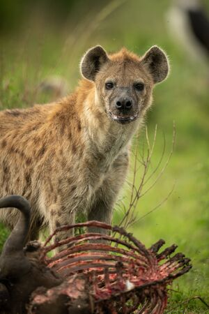 Spotted hyena stands over carcase eyeing camera Stock Photo - 129486130