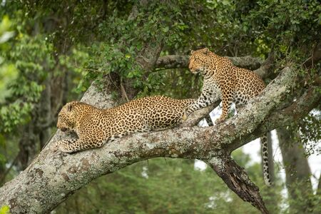 Two leopards look down from lichen-covered branch Stock Photo - 129486129